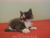)Moonwalk Mogador, mâle maine coon XXL, blue smoke et blanc - chatterie Moonwallk