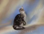 Moonwalk Grichka, femelle Maine Coon bleue silver blotched tabby - Chatterie Moonwalk