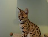 Seraphine femelle savannah, hybride du serval africain