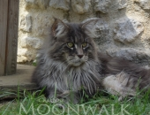 Amibial King, mâle bleu blotched tabby - chatterie Moonwalk