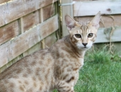 Bahali Kasay, mâle Savannah F6 SBT brown spotted tabby - Chatterie Moonwalk