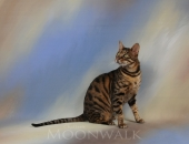 Ancien chaton de divine, Eclipse pere Kiwanga Crylain - Chatterie Moonwalk