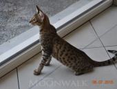 luwai 4 mois-Chatterie-Moonwalk