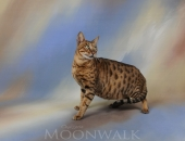 Émotion de l'âme féline, femelle Savannah F5 brown spotted tabby - Chatterie Moonwalk