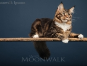 Ipsonn expo best in show 8mois - Chatterie-Moonwalk