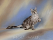 For Me de Nikko Coons, femelle Maine Coon black silver blotched tabby - Chatterie Moonwalk