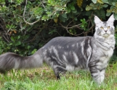 Top Coon *PL Fergie, femelle Maine Coon black silver, chatterie de Nikko Coons - Chatterie Moonwalk