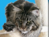 Summerplace Sirius Duch Nocy PL, mâle Maine Coon black silver - Chatterie Moonwalk
