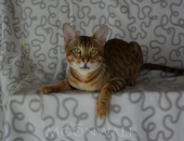 Gaara mâle savannah F5 brown spotted tabby-Chatterie Moonwalk