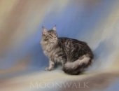 Gekopride Grammy Award, femelle Maine Coon bleue mackerel tabby - Chatterie Moonwalk