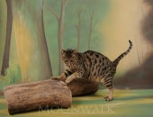 Go 4 Willderness Samia dite Divine, femelle Savannah F4 brown spotted tabby - Chatterie Moonwalk