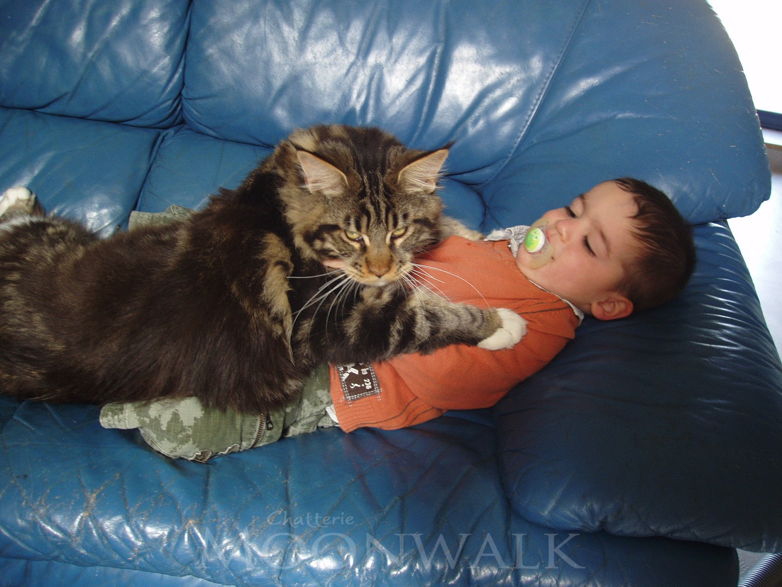 Taille chaton maine coon 6 mois