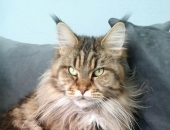 Tala-Minowis Phénomena, femelle Maine Coon brown blotched tabby  - Chatterie Moonwalk