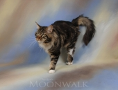 Green Peace de Pink Paradise, mâle Maine Coon brown blotched tabby et blanc - Chatterie Moonwalk