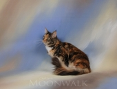 Honey Moon de Pink Paradise, femelle Maine Coon brown tortie blotched tabby et blanc - Chatterie Moonwalk