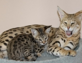 Femelle Savannah F1 brown spotted tabby et ses chatons F2 - Chatterie Moonwalk