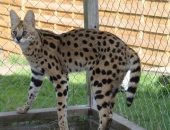 Azeem, Serval de 18 mois - Chatterie Moonwalk