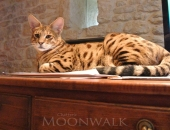 Ichi Ban, femelle Savannah F2 brown spotted tabby - Chatterie Moonwalk