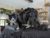 Moonwalk Mogador, mâle maine coon XXL, blue smoke et blanc - chatterie Moonwallk