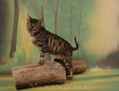 Eclipse de l'ame feline, savannah F5 - chatterie moonwalk