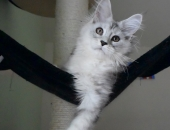 Moonwalk Noblezza, femelle black silver blotched tabby et blanc - chatterie Moonwalk