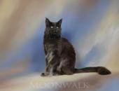 Last Prince Medium Color *PL, mâle Maine Coon bleu solide - Chatterie Moonwalk