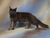 Last Prince Medium Color *PL, mâle Maine Coon bleu solide - Chatterie Moonwalk