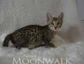 Moonwalk Nicaragua, mâle savannah fertile F6