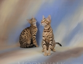 Moonwalk Holà Que Tal, femelle Savannah F5 brown spotted tabby - Chatterie Moonwalk