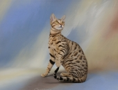 Moonwalk Honacha de Hillerin, femelle Savannah F6 brown spotted tabby - Chatterie Moonwalk