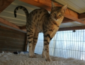 Moonwalk Igor, mâle Savannah F6 SBT brown spotted tabby à 6 mois - Chatterie Moonwalk