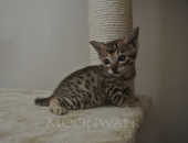 Moonwalk Igor, mâle Savannah F6 SBT brown spotted tabby - Chatterie Moonwalk
