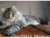 Moonwalk I'm bad, Mâle Maine Coon à 2ans / 10 kg ,  black silver blotched tabby - Chatterie Moonwalk
