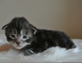 MoonwalkI'm bad, Mâle Maine Coon, black silver blotched tabby -Chatterie Moonwalk