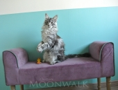 Moonwalk I'm bad, Mâle Maine Coon à 4 mois,  black silver blotched tabby - Chatterie Moonwalk