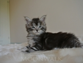Moonwalk I'm bad, Mâle Maine Coon à 37 jours, 850gr, black silver blotched tabby -Chatterie Moonwalk