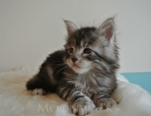 Moonwalk I'm bad, Mâle Maine Coon à 37 jours, 850gr, black silver blotched tabby - Chatterie Moonwalk
