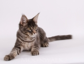Moonwalk Little Italy, Chaton Maine Coon femelle bleu silver blotched tabby  - Chatterie Moonwalk