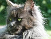 Moonwalk Insolente 18 mois,  Femelle Maine coon bleue solide - Chatterie Moonwalk