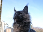 Moonwalk Insolente 11 mois,  Femelle Maine coon bleue solide - Chatterie Moonwalk