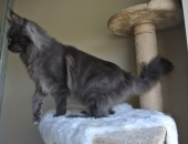 Moonwalk Insolente 12 mois,  Femelle Maine coon bleue solide - Chatterie Moonwalk