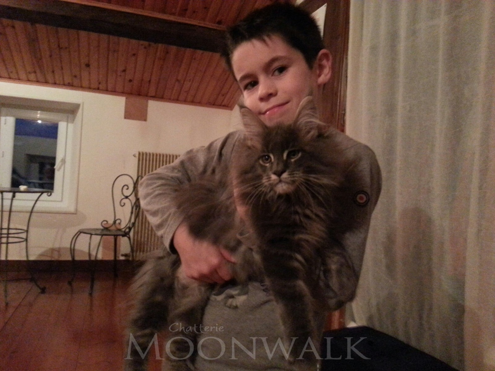 Main coon silver prix