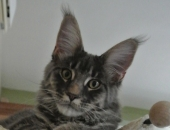 Moonwalk Little Italie, femelle maine coon bleue silver - chatterie moonwalk