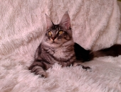Moonwalk Ichi Ban, femelle maine coon black silver - chatterie moonwalk