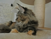 Retsina Z matrixu cz, femelle Maine coon black torbie - Chatterie moonwalk