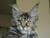 Retzina Z matrixu cz, femelle Maine coon black torbie - Chatterie moonwalk