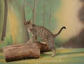 Sally of Moonwalk, femelle Savannah F4 brown spotted tabby - Chatterie Moonwalk
