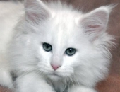 Summerplace Snow Flake, femelle maine coon blanche - Chatterie Moonwalk