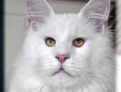 yeti Bear papa de Summerplace Snow Flake, femelle maine coon blanche - Chatterie Moonwalk