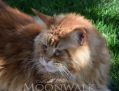 Paulrobert's Tuco mâle red blotched tabby - chatterie Moonwalk